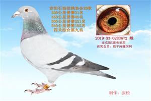 中国石油信鸽协会安阳石化分会