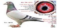 杨会泉夏拉肯系种鸽