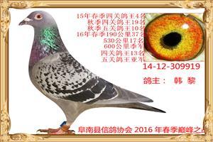 2016年获奖鸽照片