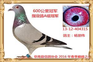 2016年春季获奖鸽照片