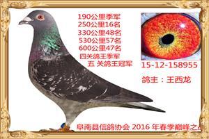20165年获奖鸽照片