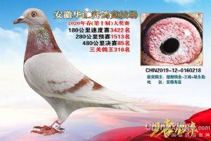 2020华汇获奖鸽